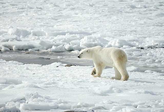 Eisbär auf Baffininsel