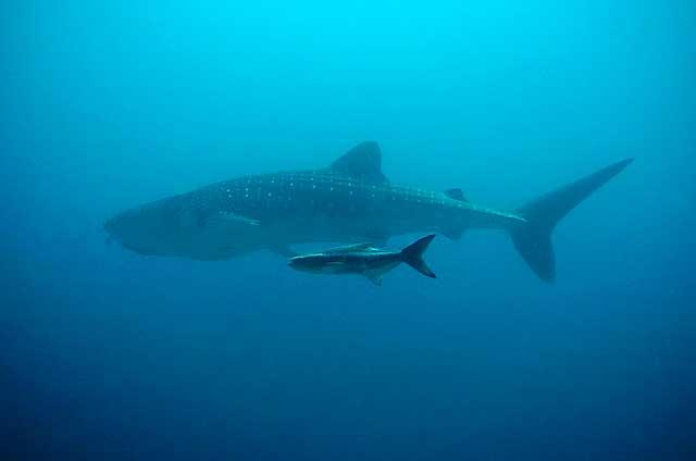 Walhai beim Tauchen Thailand