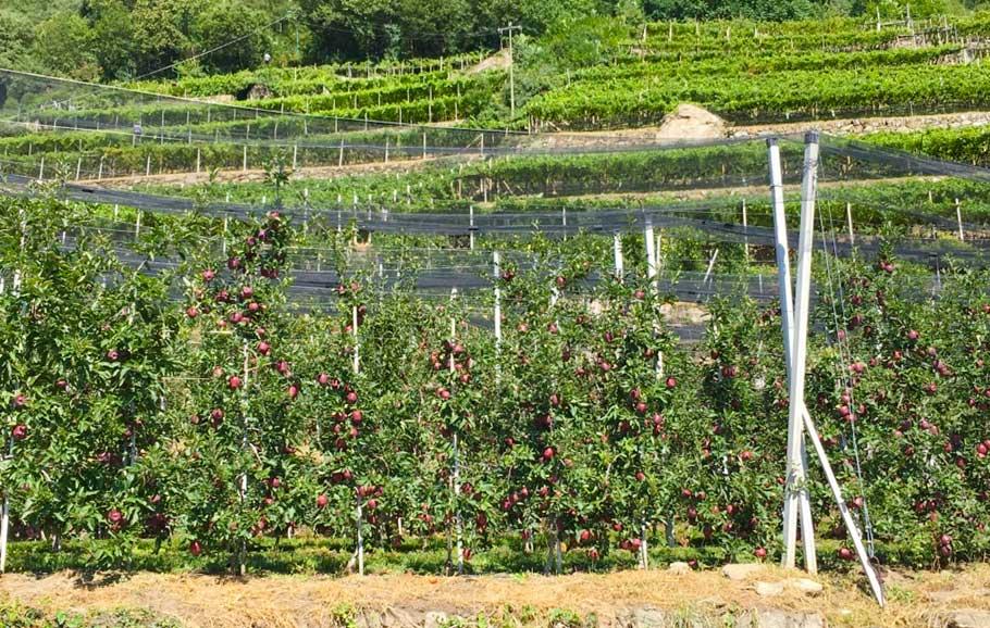 Apfelplantagen in Südtirol (Copyright: Erdkunde-online.de)