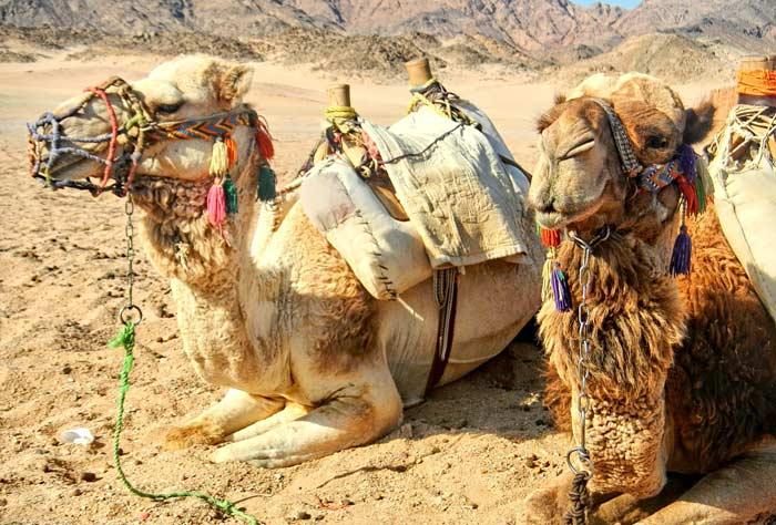 Ägypten – Urlaub - Kamele